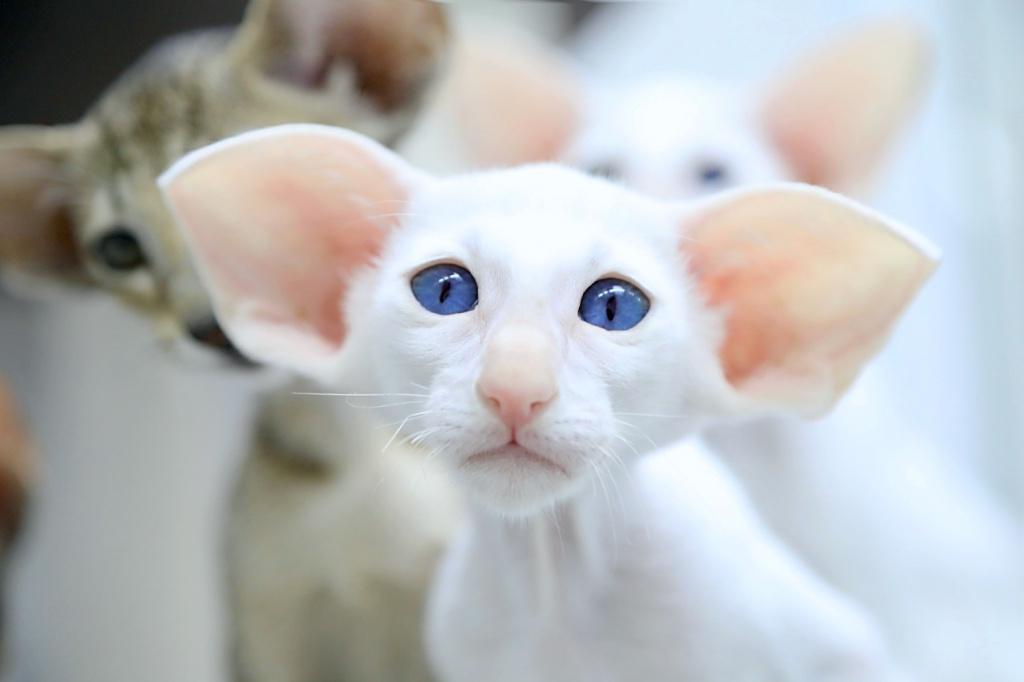 картинки пород кошек с большими ушами портал, каждый познакомиться